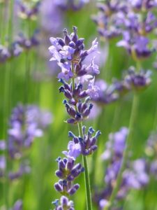 lavender-167794_1920